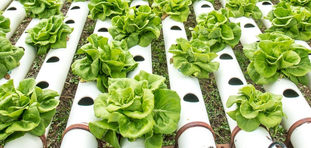 Soilless Cultivation For Leafy Salads