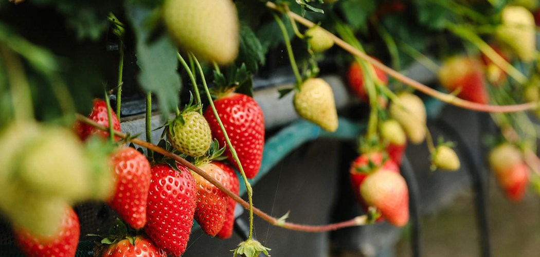 Soilless Cultivation For Table Top Strawberry