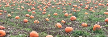 Tyfu Cymru helps turns 'trick' in to 'treat' for Wales' pumpkin growers…