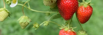 Technical Advice Sheet: Strawberry, April 2020