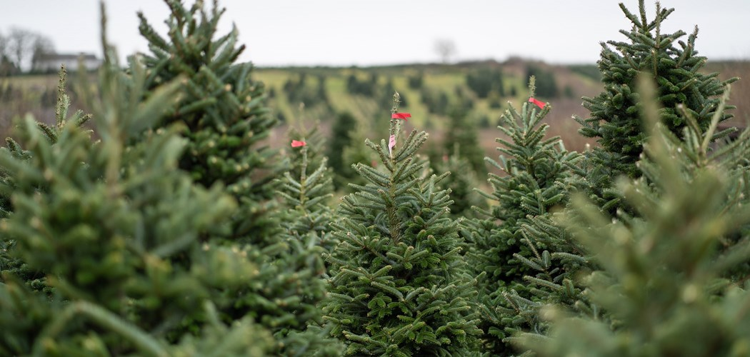 Technical Advice Sheet: Christmas Tree – July