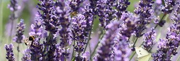 Technical Advice Sheet: Growing Lavender