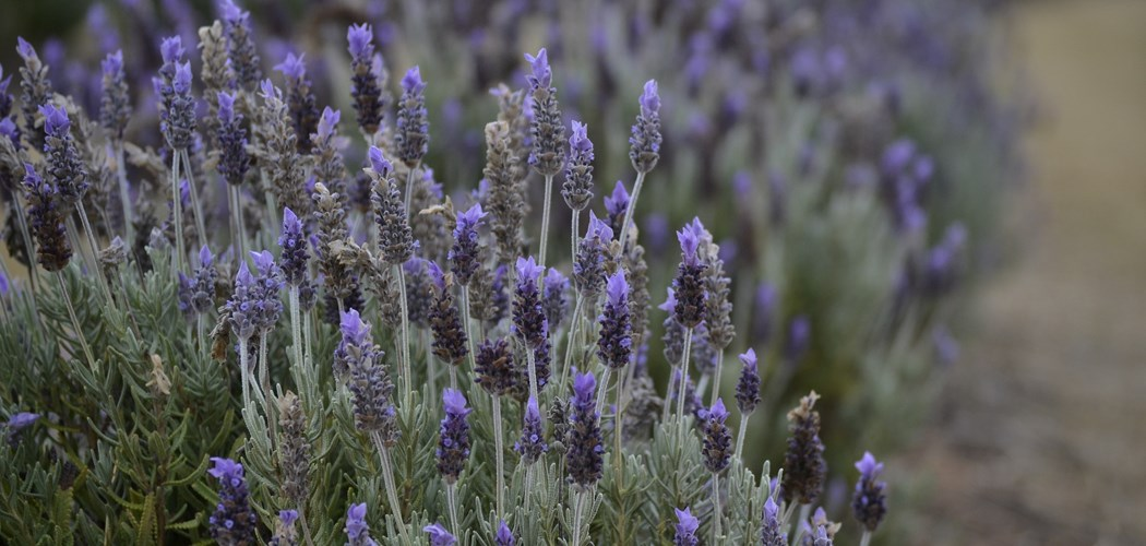 Webinar: An introduction to commercial lavender production