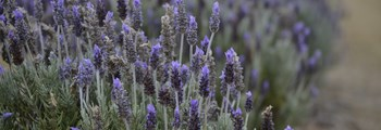 An Introduction to Commercial Lavender Production